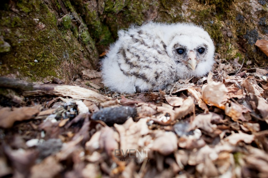 baby owl nesting at coolidge state park in plymouth vermont